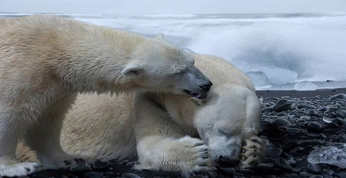 El cambio climático influirá en la extinción del oso polar antes del 2100