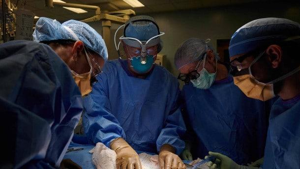 Cirujanos trasplantan con éxito riñón de cerdo a persona